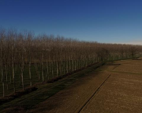 Poplar of Parco Agricolo Sud Milano